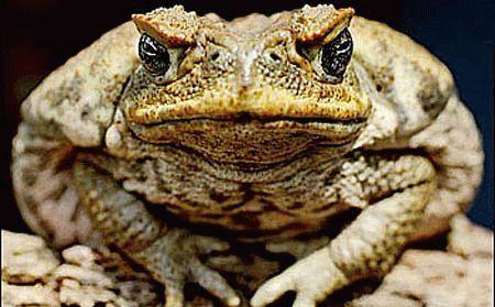 Брюшная жаба