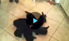 Собачий хоровод вокруг миски с молоком