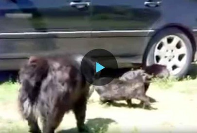 Как собаки уговорили кошек прекратить драку (видео)