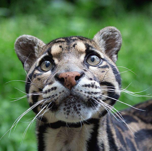 11-dimchatiy-leopard