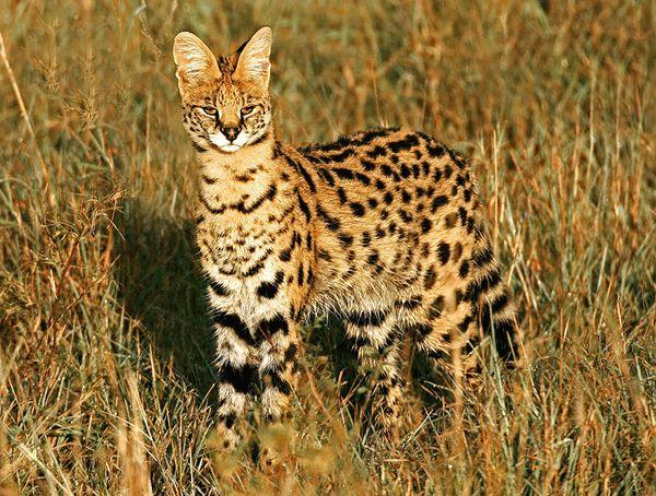 6-serval