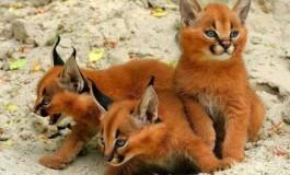Коты, о существовании которых вы, наверное, и не слышали (фото) (видео)