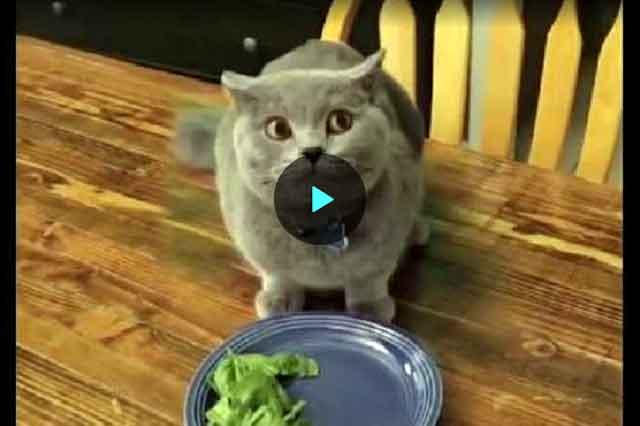 kot-salat