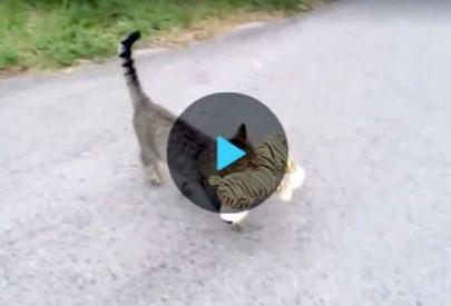 Кошка овладела тигром