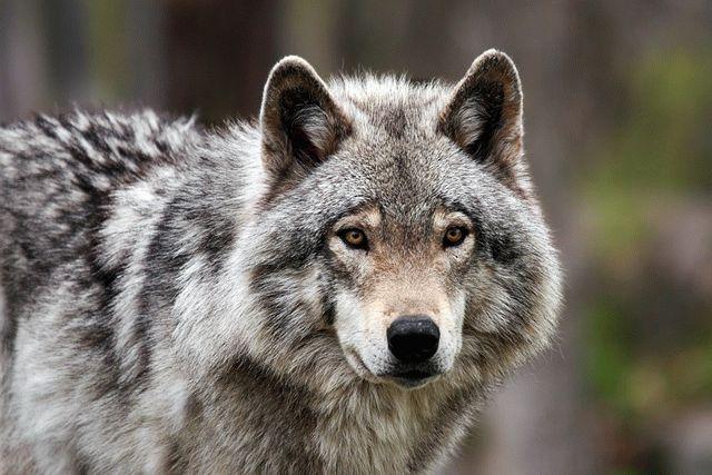 НаЧерниговщине дикая волчица напала насело, пострадали три человека