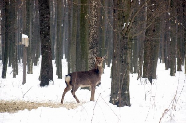 На Винничине подсчитали оленей, волков и других охотничьих животных, фото-2